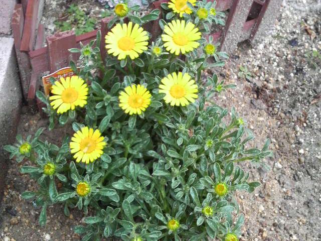 今日植えた花